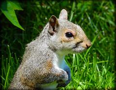 DSCN9596 (DianeBerky19) Tags: summer backyard nikon squirrels birdfeeder peanuts greysquirrels coolpixp900