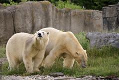 IJsberen (Robbert met dubbel B) Tags: zoo rotterdam blijdorp bears polar dierentuin diergaarde ijsberen