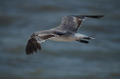 Power (JJWildlife) Tags: naturaleza nature wildlife gull gaviota