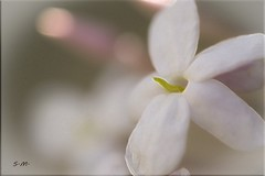 Fiorellino di Gelsomino (Laralucy) Tags: gelsomino fiore natura macro closeup