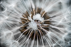 dandelions heart (pajus79) Tags: light shadow plant flower color nature contrast ball nikon close seed fluff dandelion shade tone chute fuzz parachute 10528 d80