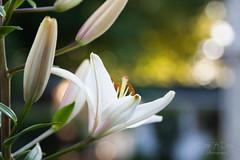Lily (sarahkathleendavis) Tags: white plant flower green june outside outdoors lily bokeh bloom 2016