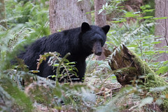 In the woods (Maja's Photography) Tags: animals forest canon bc wildlife logs lodge wilderness blackbear bearcub