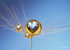 I heart U (Anne Rusten) Tags: blue water gold droplets nikon dof artistic indoor droplet waterdroplet dandelionseed nikond7000 dandelionart