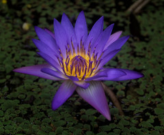 Water Lily (markbev99) Tags: flower macro water forest port river landscape rainforest stream lily queensland tropical gorge douglas