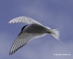 Arctic Tern (jonny.andrews65) Tags: sea bird nikon flight arctic tern vr 70300 d7200