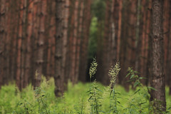 (nettisrb) Tags: wood trees tree nature germany landscape forrest bokeh landschaft bume tanne tannen