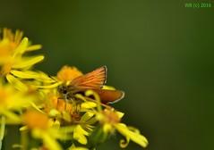 DSC_0216n wb (bwagnerfoto) Tags: flower macro yellow closeup butterfly insect nationalpark small skipper blume virg schmetterling barna sylvestris pillang lobau lepke thymelicus donauauen busalepke braunkolbigebraundickkopffalter