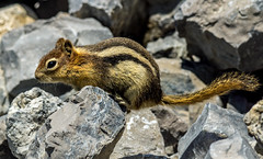 golden mantled ground squirrel - banff NP, canada (AB) 6 (Russell Scott Images) Tags: canada ab alberta banff rodents banffnationalpark goldenmantledgroundsquirrelcallospermophiluslateralis