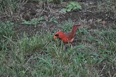 Bilateral Gynandromorph Cardinal 71 (Gary Storts) Tags: cardinal gynandromorph gynadromorph orninthology birdwatching birds cardinalis northerncardinal cardinaliscardinalis