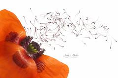 Oriental Poppy (Jacky Parker Floral Art) Tags: uk red flower macro closeup vibrant fineart nopeople stamens whitebackground poppy highkey colourful bold freshness dispersal orientalpoppy naturephotography macrophotography floralart papaverorientale artinnature beautyinnature horizontalformat flowerphotography studioimage nikond750