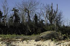 Marine Iguana DSC_8790-1_FM (TabbPix) Tags: ocean park parque beach expedition june america island volcano islands eclipse ecuador natural pacific south darwin evolution selection galapagos national tropical environment species volcanic nacional tropics equator preservation pristine wildlike 2016