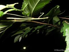Baculum irregulariterdentatum (Shiori Hosomi) Tags: june japan tokyo insects phasmatodea 2016    baculum    23   bacilidae  entomon