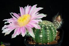 Echinocereus pulchellus var. weinbergii (clement_peiffer) Tags: echinocereus pulchellus weinbergii cactus purple rosecactus flowerscolors