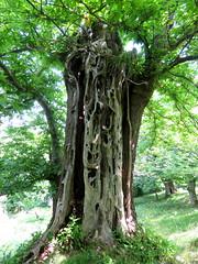IMG_0045x (gzammarchi) Tags: italia natura tronco montagna paesaggio bosco castagno sestetto casteldelriobo