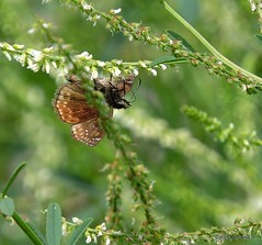 Wild Indigo Duskywing_N9075 (Henryr10) Tags: brown butterfly cincinnati butterflies papillon mariposa farfalla schmetterling littlemiamiriver midsize hesperiidae bmna duskywing wildindigoduskywing erynnisbaptisiae pyrginae erynnis ottoarmlederpark armlederpark ottoarmledermemorialpark hamiltoncountyparkdistrict greatparksofhamiltoncounty