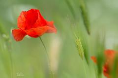 Poppie (Claudia Brockmann) Tags: flowers red flower green nature natur poppies poppie klatschmohn weizenfeld