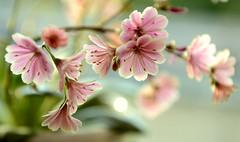 Lewisia Cotyledon 'Sunset Strain' (Alona Azaria) Tags: pink flower green bokeh nikkor lewisia cotyledon 2470mmf28 simplysuperb nikond800 sunsetstrain