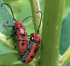 Tetraopes Tetrophthalmus, Mating Red Milkweed Beetles on Milkweed 2 (DarkOnus) Tags: red macro closeup insect day phone pennsylvania cell mating milkweed beetles 2d buckscounty hump huawei tetraopes ihd hihd tetrophthalmus mate8 insecthumpday darkonus