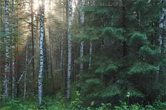(In the woods ) (Kirill & K) Tags: summer forest woods pine fir birch sunlight fog mist evening iremel bashkiria southural russia tree green rays