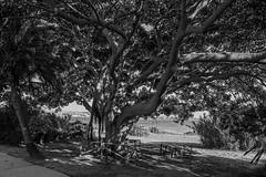 DSC_5824 (Pasquesius) Tags: sea blackandwhite tree monochrome museum foglie island mare lagoon ficus sicily museo laguna albero saline sicilia saltponds isola marsala mozia mothia stagnone motya whitakerfoundation riservanaturaledellostagnone whitakerhall fondazionewhitaker casawhitaker