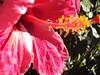 Hibisco (Helena Branjão) Tags: flor vermelho hibisco florvermelha hibiscovermelho