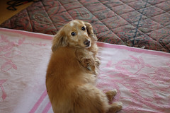ほい、アップ (Yoshinori Matsunaga) Tags: dog pet japan japanese sony dachshund fujifilm osaka rx1 x100s