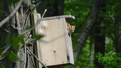 Eastern Screech-Owl (Rick Wright, Tours and Private Guiding) Tags: ohio may owls otus easternscreechowl screechowl strigidae megascops screechowls strigids biggestweekinamericanbirding