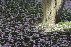 Petals on the Grass (marylea) Tags: pink flowers spring catholic michigan blossoms annarbor magnolia catholicchurch blooms magnolias stthomasaa stthomastheapostlecatholicchurch
