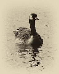 Vintage Goose series (leehobbi) Tags: nature canon geese wildlife goose waterfowl patuxent refuge