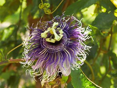 Passion Flower (Aaron Whitaker) Tags: flowers plants flower nature leaves olympus passion evolt folage e500 wonderfulworldofflowers