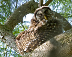 Barred Owl Bathing (Newzer1) Tags: owl barred barredowl