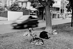 (cheapbungalows) Tags: chile santiago blancoynegro de persona cara perros bola jiji perritos hechos amiguitos pesebre avper afligidos