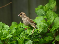 Young Sparrow balancing on the leaves 13-05-13 (James Lennie) Tags: bird nature birds olympus devon sparrow daytime dslr northdevon e410 olympused40150mmzoomlens