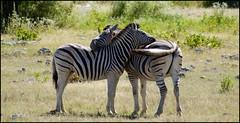 Siesta (tor-falke) Tags: africa afrika afrique african safari namibia namibie etosha natur nature animal animals fauna zebra zèbre ngc torfalke flickrtorfalke tier outdoor
