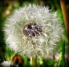 I Wish For (Aunt Teena) Tags: white plantingfieldsarboretum wishingflower