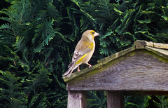 2013 05 17_Greenfinch_0007 (Keith Laverack) Tags: greenfinch 1facebook 1flickr 1keithlaverack 1wilberfoss