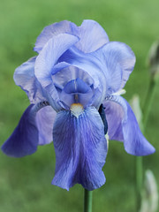 Obligatory Iris (Chosen at Random) Tags: blue iris flower purple m42 manualfocus e420 supertakumar11855