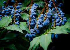 Oregon Grape in Blue. (Omygodtom) Tags: park blue red wild green nature leaves garden pdx tamron90mm oregongrape d7000