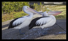Dad and Mum Sandgate Pelican-1+ (Sheba_Also Millon + Views) Tags: dad pelican mum sandgate