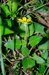 Chrysogonum virginianum, green and gold (scadwell) Tags: botanical