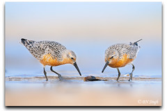 Red Knot (BN Singh) Tags: new red wild two usa bird beach nature birds highlands pair sandy calidris nj knot jersey hook nrs canutus