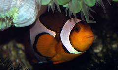 Hiding from the Stings (Niall Deiraniya Underwater Photography) Tags: red sea fish coral dangerous marine ray seahorse turtle crab shrimp sealife perch octopus mandarin nudibranch anenome manta moray grouper venom pygmy pipefish reasea