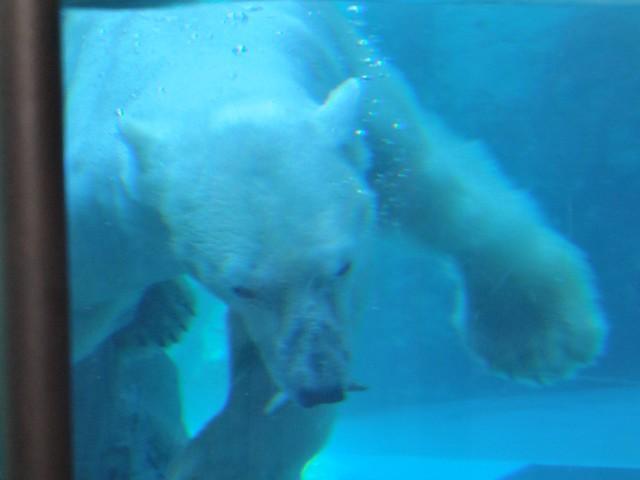 迫力ある旭山動物園白クマのもぐもぐタイム|旭川市旭山動物園