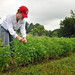 Liz Bowen tends to basil being grown on the Agroecology Education Farm during a volunteer work day.