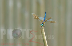 Blue Dragonfly (NicKafkas) Tags: nature garden insect dragonfly stick