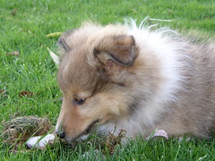 8 weeks old Sheltie puppy (K9wolfje) Tags: dog dogs puppy nest sheltie sheepdog sienna canine litter perro hund pup chiot shetland rohan k9 shetlandsheepdog shelties sheepdogs welpe chiots dogue herdershond cachoro voske youngdog oeussant hjaltesskerlad cachorots britseherdershond skerlad