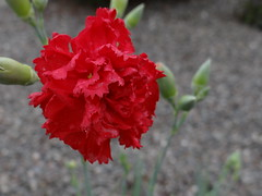 Red Carnation (longsheds) Tags: carnations redcarnation