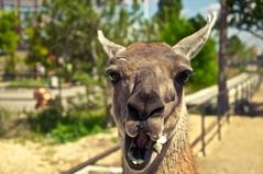 .  . .  2013 . (Sasha_mac) Tags: trees color nature animals portraits fence zoo eyes nikon tour lama crimea 18105     d90        taigan