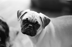 74600008 (Purple Panda13) Tags: blackandwhite dog pet pets film dogs animal animals puppy virginia nikon iso400 pug f100 nikonf100 brutus ilford